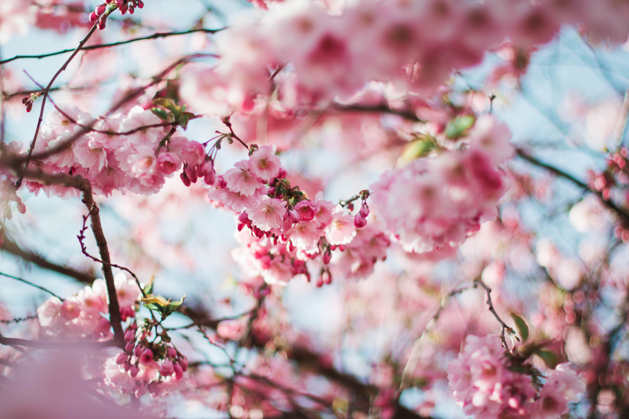 an image of a blossom tree to accompany AJ Scutching and Son's latest blog, offering tips for preparing your roof for spring